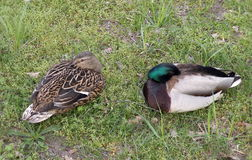 Couple wild duck. S rest on grass, Lithuania Stock Photos