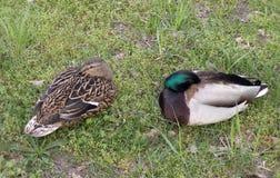 Couple wild duck Stock Photos