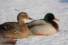 Couple of Wild duck. Male and female Mallard or wild duck, Anas platyrhynchos Stock Images