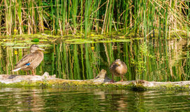 Couple of wild ducks in the background wetland pond Royalty Free Stock Image