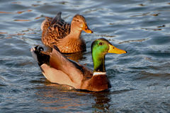 A couple of Wild Ducks in a lake. A couple of Mallards or Wild Ducks.The male in the characteristic  and colorfull green and the female in a discreet brown Stock Photos