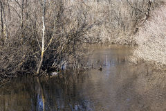 Couple of wild ducks. In a river next to some leafless trees in spring Royalty Free Stock Photos