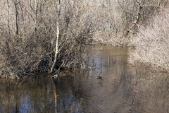 Couple of wild ducks. In a river next to some leafless trees in spring Royalty Free Stock Image