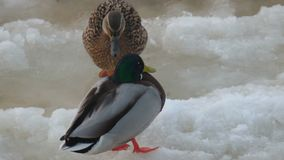 Couple of wild ducks is sitting on ice. View stock video footage