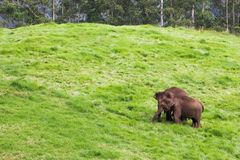 Couple of wild elephants eating grass on bliss green hill -. Couple of Elephants eating grass on bliss green hill. Feels happy together in wildlife stock photos