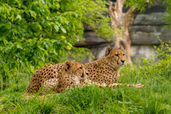 Couple of wild leopards black dotted fur stock photography