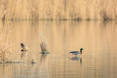 Couple Wild Mallard Ducks Royalty Free Stock Image