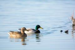 Couple wild mallard ducks Stock Images