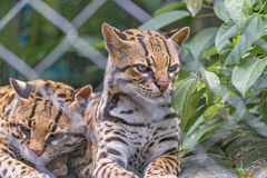 Couple of Wildcats at Zoo Royalty Free Stock Photos