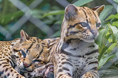 Couple of Wildcats at Zoo Stock Photo