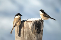 Couple of Willow-Tits. Two willow tits feeding of seeds on top of a wooden pole in a winter sunny day Royalty Free Stock Photography