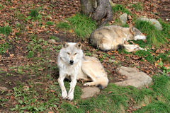 Couple of Wolfs Royalty Free Stock Photography