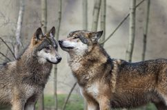 A couple of wolfs Royalty Free Stock Photo