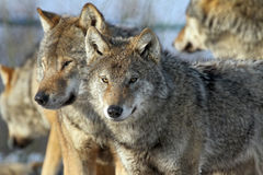 Couple of wolves. Couple of a european grey wolves royalty free stock photo