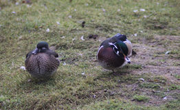 Couple wood duck. A pair wood duck by the lake. Foto taken in landgoed hoenderdaell Stock Images