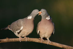 Couple of  woodpigeon courting and kissing Royalty Free Stock Photo