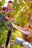 Couple worker picking grapes in vineyard Stock Image