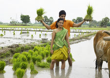 Couple working in a paddy field. Asian farmer couple working in a paddy field Royalty Free Stock Image