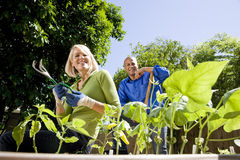 Couple working on vegetable garden in backyard Royalty Free Stock Image