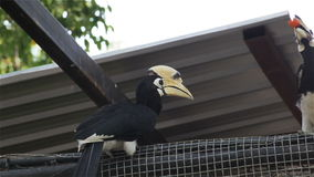 Couple Wreathed Hornbill bird brought food or fruit and feeding to female on the fence, in HD stock video