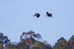 Couple of Wreathed hornbill(Rhyticeros undulatus). Flying in the sky in nature at Khaoyai natioanal park,Thailand Stock Photography