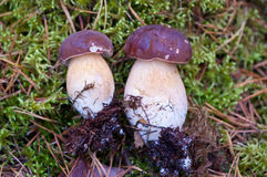 Couple of Xerocmus badius mushrooms Royalty Free Stock Photos