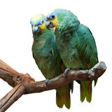 Couple of Yellow-Crowned Amazon Parrot Royalty Free Stock Photography