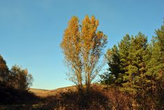Couple yellow poplar trees on the hills on the edge of a pine forest. Sunny autumn sky stock photo