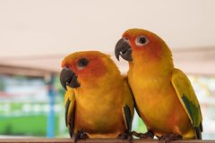 Couple yellow Sun conure parrot love and take care of together ,. Lovely parrot , Beautiful parrot Stock Images