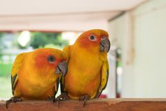 Couple yellow Sun conure parrot love and take care of together ,. Lovely parrot , Beautiful parrot Royalty Free Stock Photography