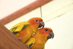 Couple yellow Sun conure parrot love and take care of together ,. Lovely parrot , Beautiful parrot Royalty Free Stock Photos