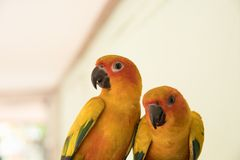 Couple yellow Sun conure parrot love and take care of together ,. Lovely parrot , Beautiful parrot Stock Photography
