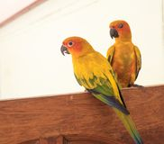 Couple yellow Sun conure parrot love and take care of together ,. Lovely parrot , Beautiful parrot Stock Image