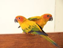 Couple yellow Sun conure parrot love and take care of together ,. Lovely parrot , Beautiful parrot Stock Photos