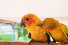 Couple yellow Sun conure parrot love and take care of together ,. Lovely parrot , Beautiful parrot Royalty Free Stock Photo