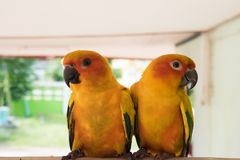 Couple yellow Sun conure parrot love and take care of together , Royalty Free Stock Photography