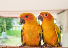 Couple yellow Sun conure parrot love and take care of together , Royalty Free Stock Image