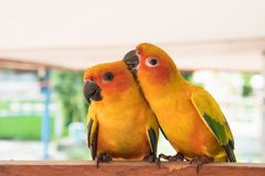 Couple yellow Sun conure parrot love and take care of together , Stock Photos
