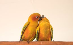Image of a couple of parrots - the Sun Conure Stock Photo