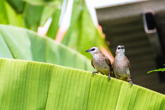Couple of Yellow-vented Bulbul Royalty Free Stock Images