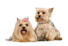 Couple of Yorkshire Terrier Stock Photos