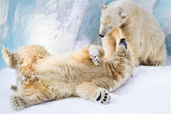 Couple of young bears Royalty Free Stock Photos