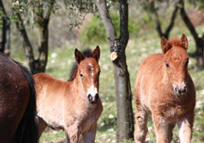 Couple of young brown horses. A couple of young brown horses royalty free stock photos
