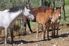 Couple of young brown horses with their mother. A couple of young brown horses with their mother royalty free stock photos