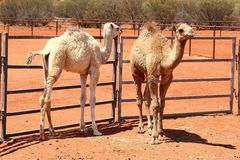 Couple of young camels in red desert, Australia. A couple of young camels in the Red Centre, Northern Territory, Australia. At a camel breeding farm iand cattle stock image