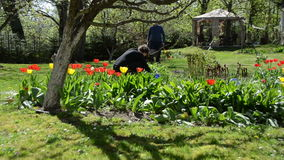 Couple of young gardener working between spring tulip flowers.  stock video