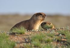 Couple of young groundhogs. Young and amusing groundhog in the wild nature Royalty Free Stock Photos