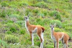 Couple of Young Guanacos in the Patagonia Fields. Couple of Young Guanacos in the chilean Patagonia Fields Royalty Free Stock Photography