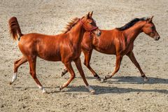 Couple of young horses running. Two brown young horses running and playing in the sun Royalty Free Stock Photos