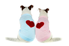 Couple of young Jack Russell Royalty Free Stock Images